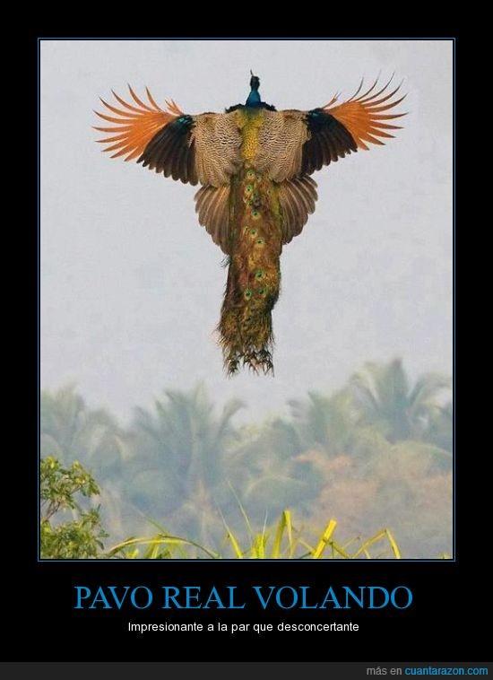 flying peacock,pavo real,selene,volando