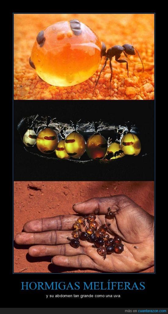 abdomen,grande,hormigas,melíferas,uva