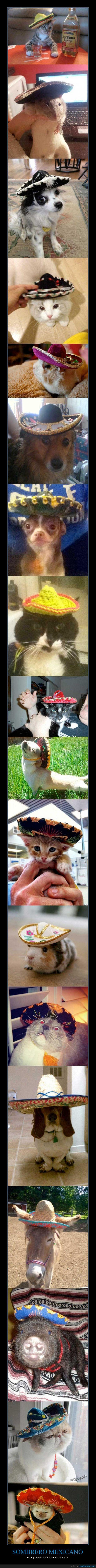 chihuahua,erizo,gato,gorro,mexicano,perro,sombrero
