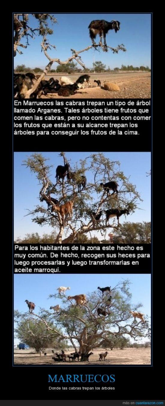 aceite,árboles,cabras,caquitas,heces,marroqui,Marruecos,trepar