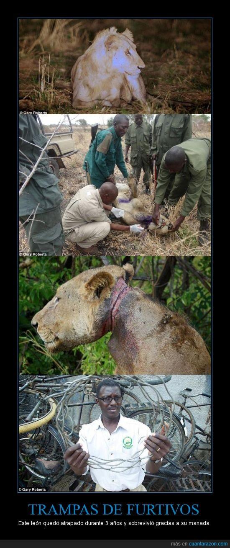 animales,león,trampa