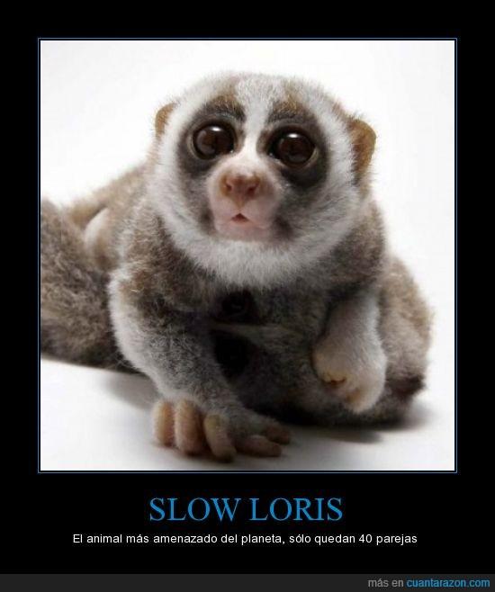 amenzado,hermoso,lori,slow
