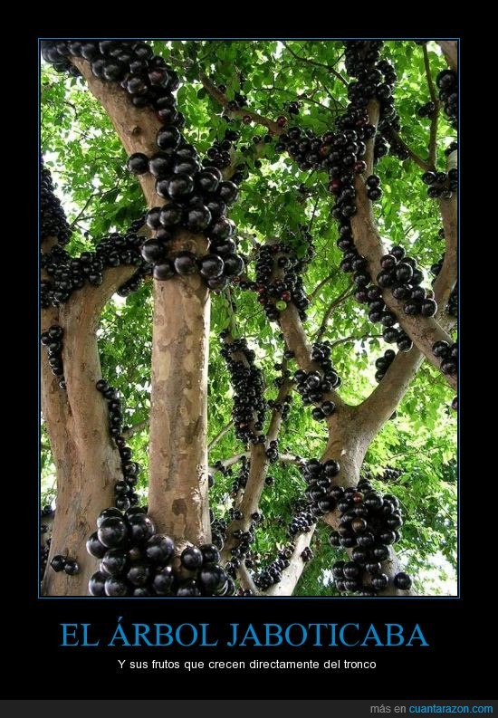 Árbol,Brasil,Frutos,Jaboticaba,Tronco,uva