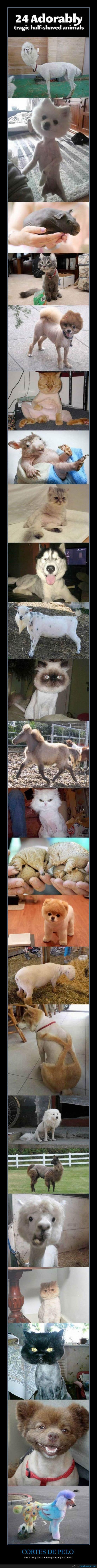 afeitado,animal,cola,corte,gato,llama,pelo,perro,rapado