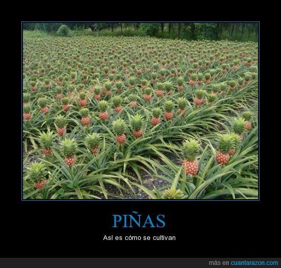 crecer,fruta,piñas,planta