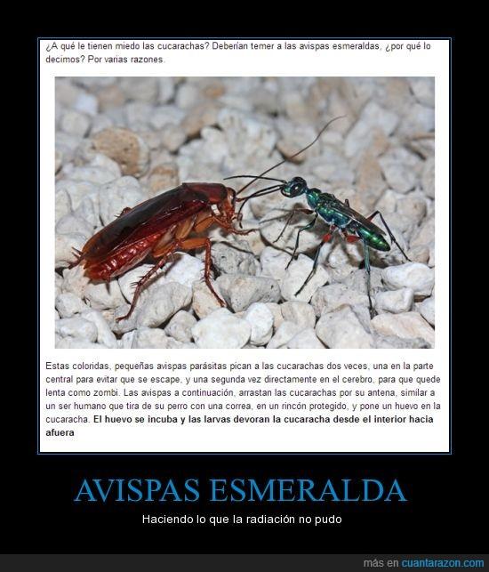 avispa esmeralda,avispas,cucarachas,incubar,matar,parasito,radiacion