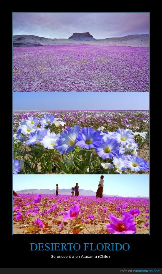 chile,desierto,flores,florido,rareza