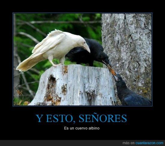 albino,animal,cuervo,señores