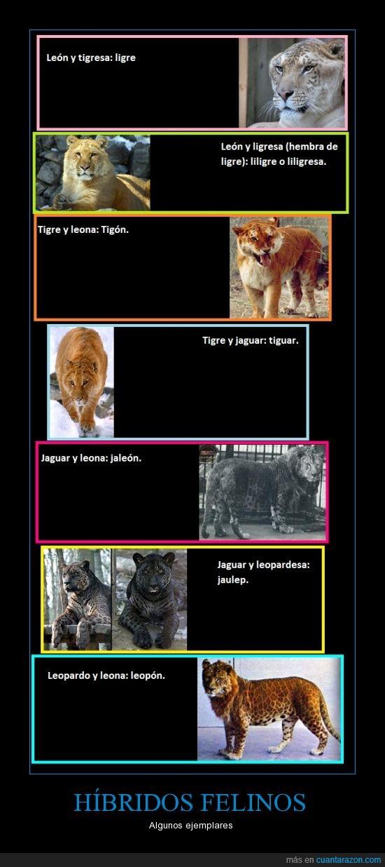 felinos,jaguar,leones,ligre,tigres