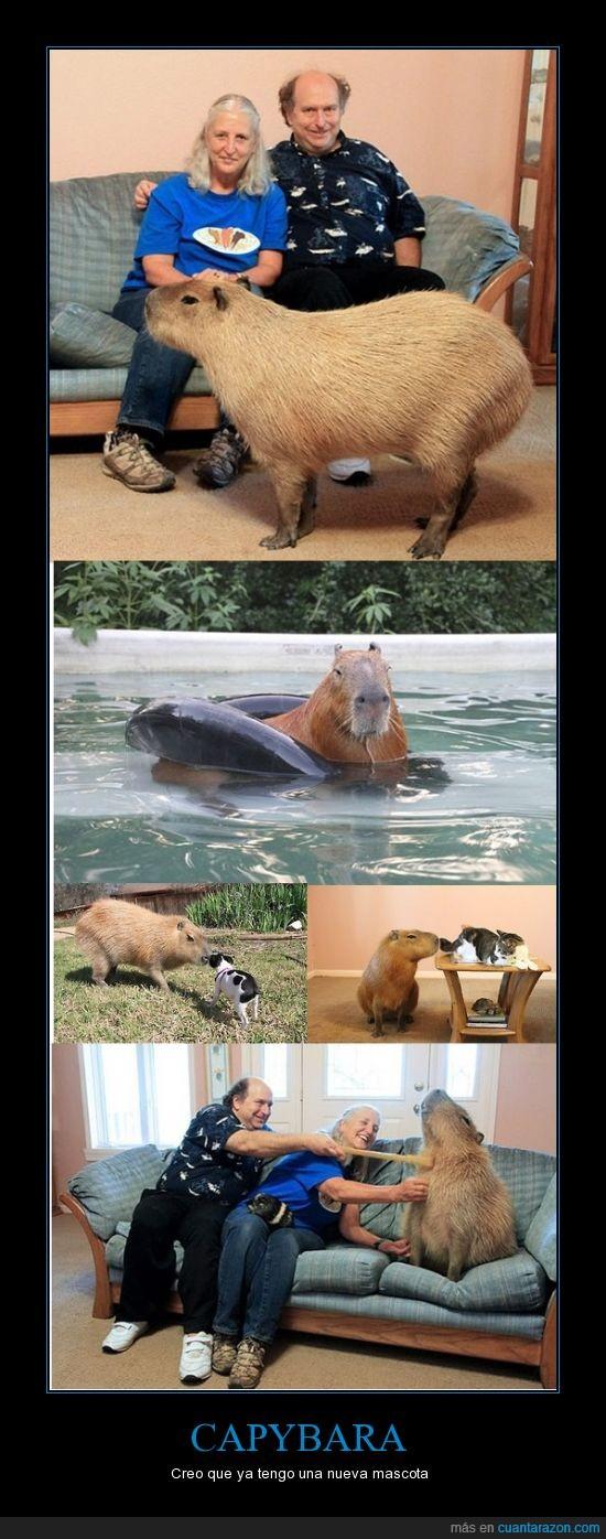 animales,capybara,domestico,especie,familia,gigante,mascota,roedor