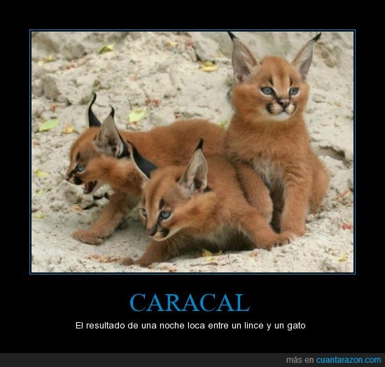 Animal,caracal,Gato,Lince,orejillas