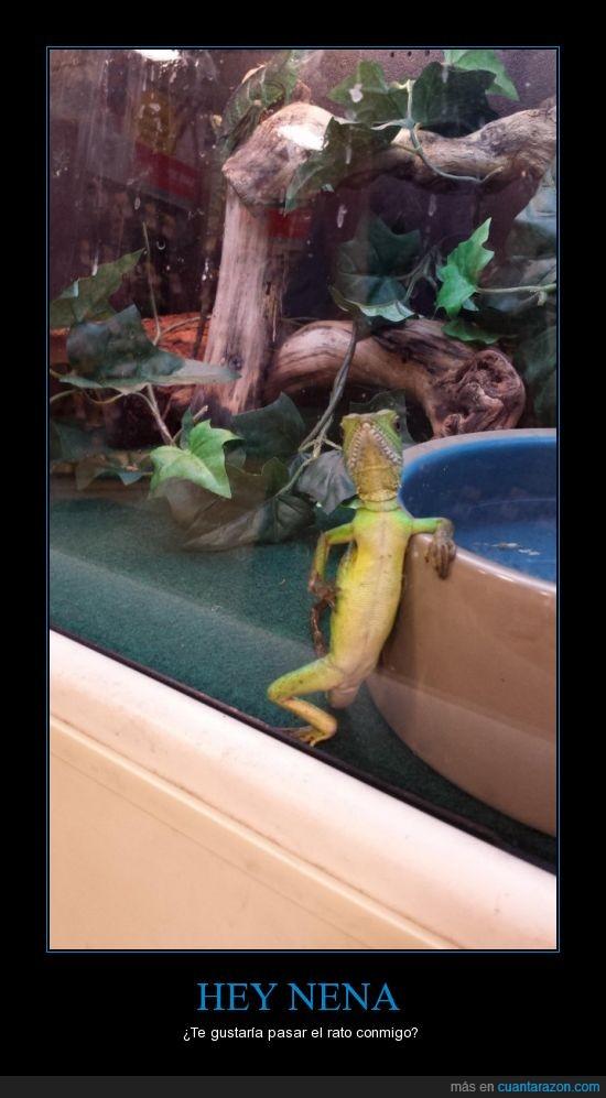 estupida y sensual iguana,iguana,nena,posar,reptil