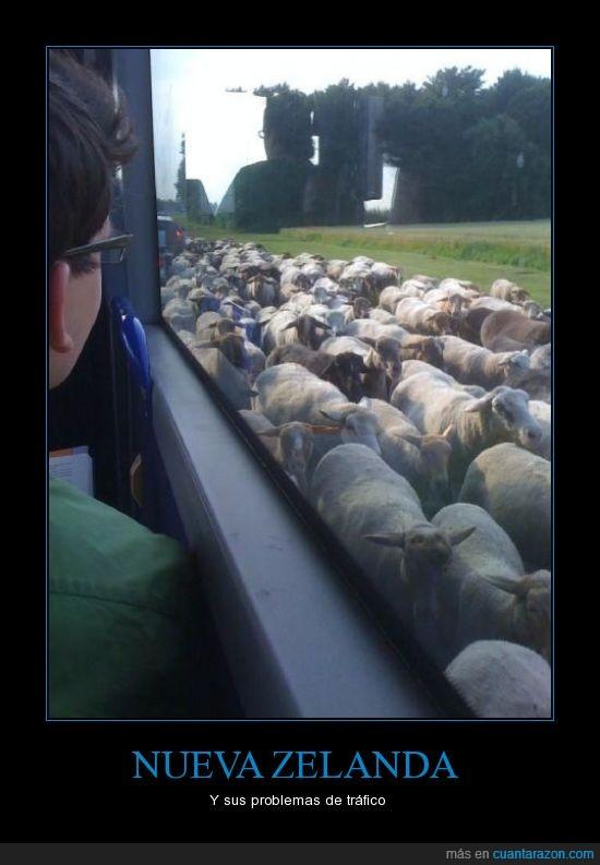 Nueva Zelanda,Ovejas,tráfico