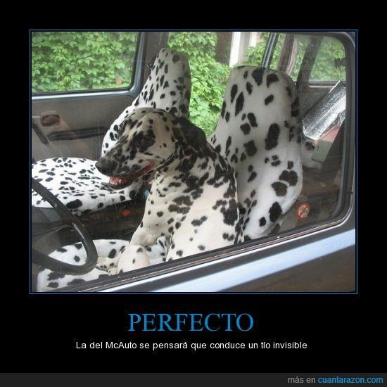 camuflaje perfecto,dalmata,mancha,negra,perro,tapiceria