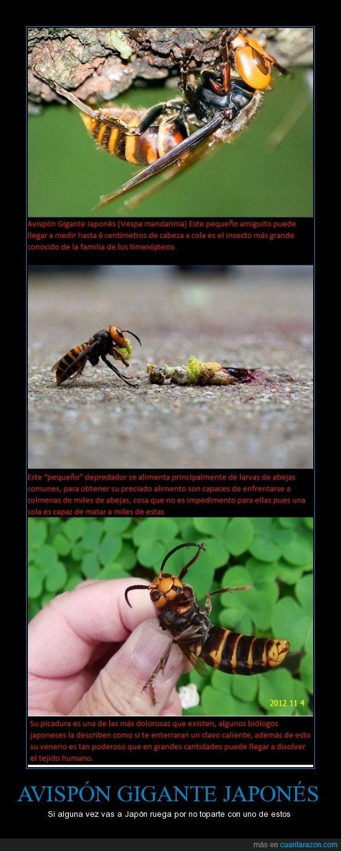 abeja,avispón,japón,larvas,matar