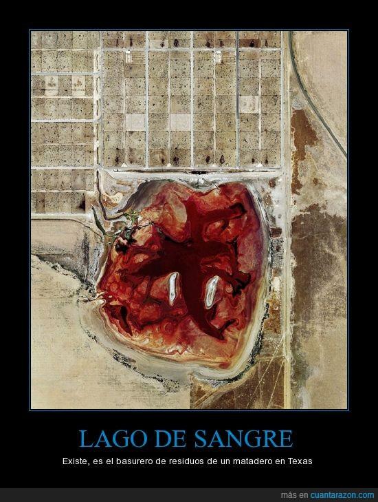 de,impresionante,lago,matadero,sangre,texas,vacas