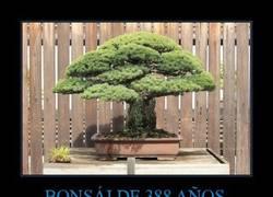 Enlace a BONSÁI DE 388 AÑOS