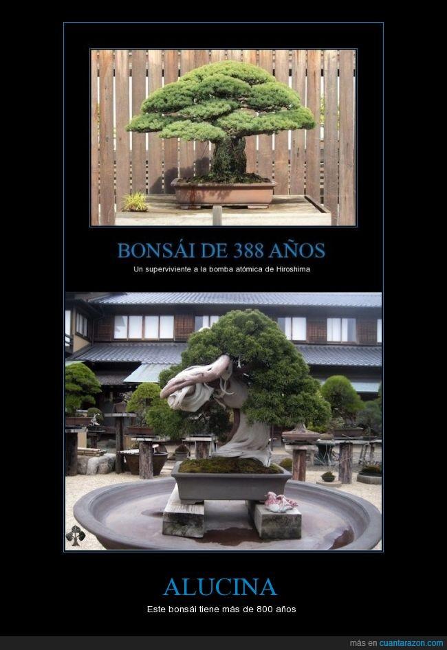 800 años,bonsai,mejor bonsai del mundo