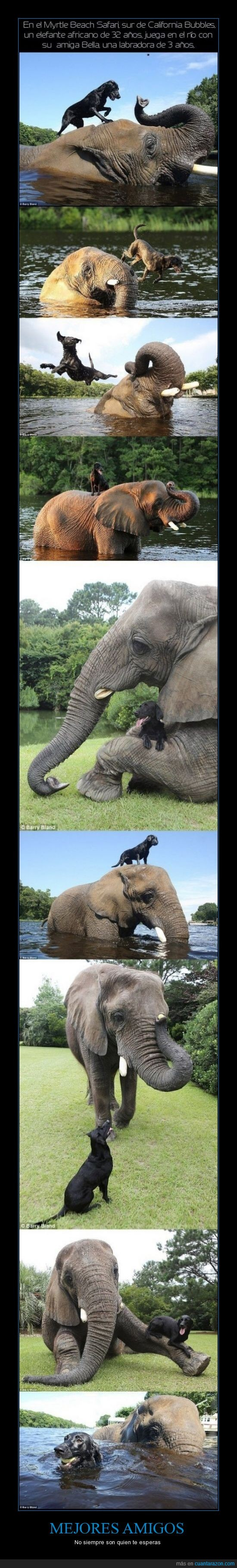 amistad,california,elefante,labrador,perro
