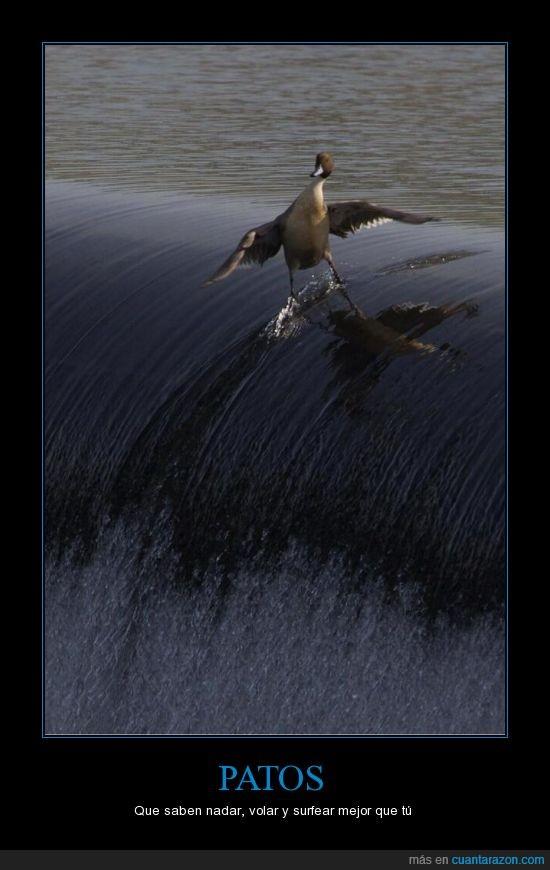 mascota,pato,surf