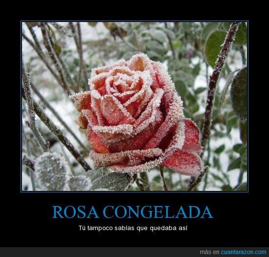 congelada,escarcha,flor,hermosa,hielo,rocio,rosa