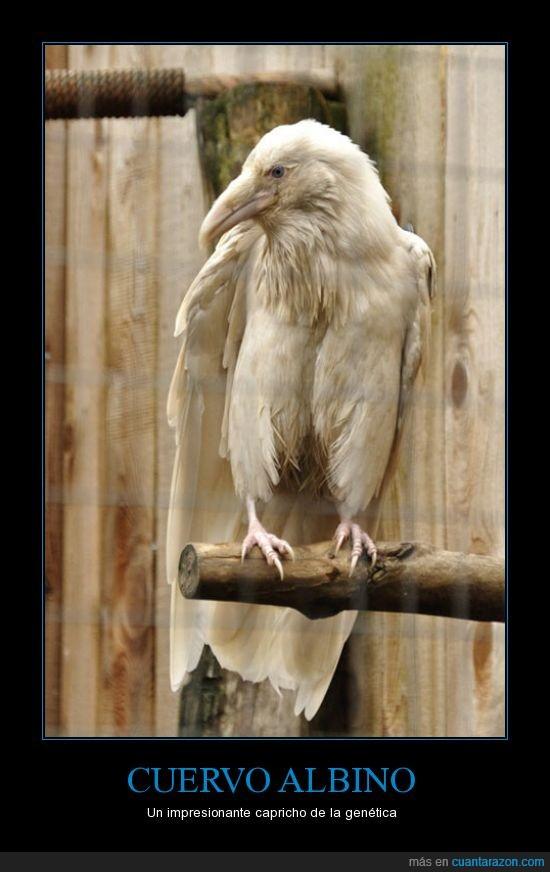albino,albos,aves,blanco,cuervos,pajaros