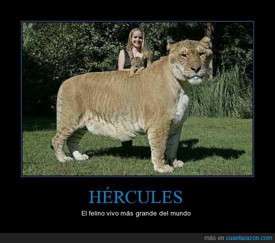 de leon y una tigresa,felino,hercules,ligre,mescla