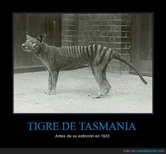 animal,ejemplar,extinción,tigre