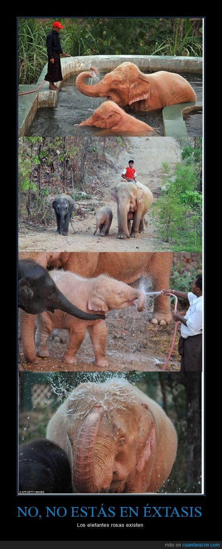 elefantes,extasis,increible,naturaleza,rosa