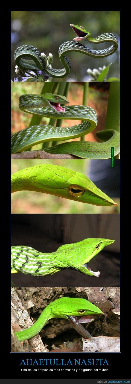 Ahaetulla nasuta,delgada,India,Mundo,serpiente