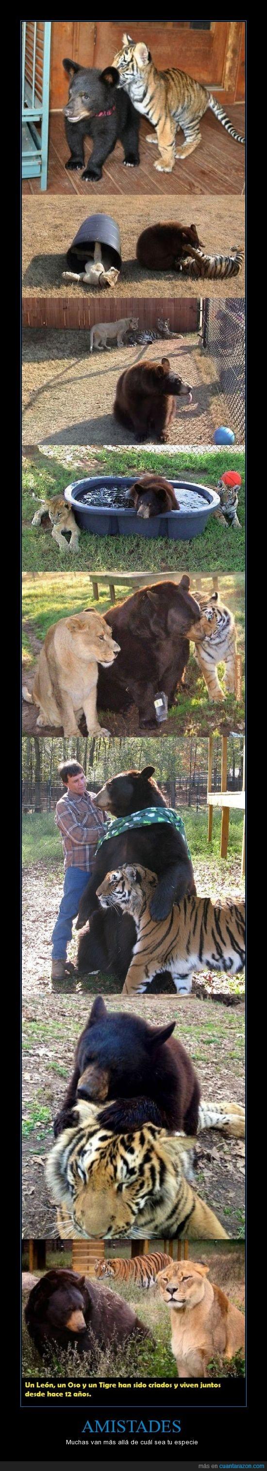 12 años,amigos,especie,León,Oso,Tigre