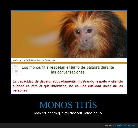 conversación,educados,mono tití,Monos,tertulianos,tití cap de lleó,turno de palabra