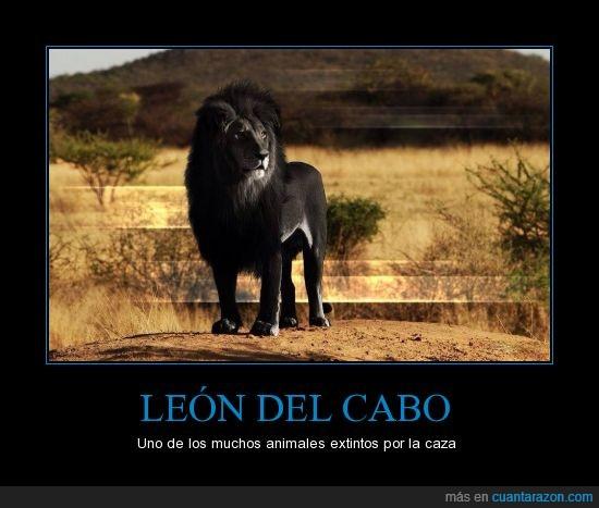 africa,caza,extinto,ingleses,la foto es una recreación,leon,leon negro,Panthera leo melanochaitus