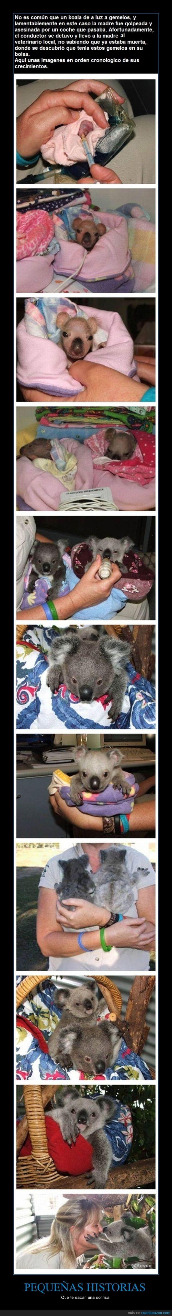 animales,enseñar,gemelos,historia,koala,vida