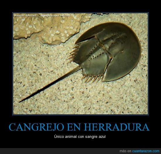 azul,cangrejo en herradura,sangre