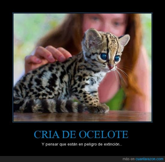 animal,cría,extincion,felino,gato,ocelote