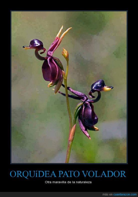 flor,increible,morado,naturaleza,orquidea,pato,violeta,volador