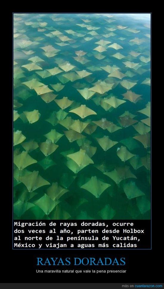 maravilla natural,migración,océano,rayas doradas