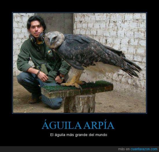Aguila,alerta a las garras,arpia,grande,hermosa,majestuosa