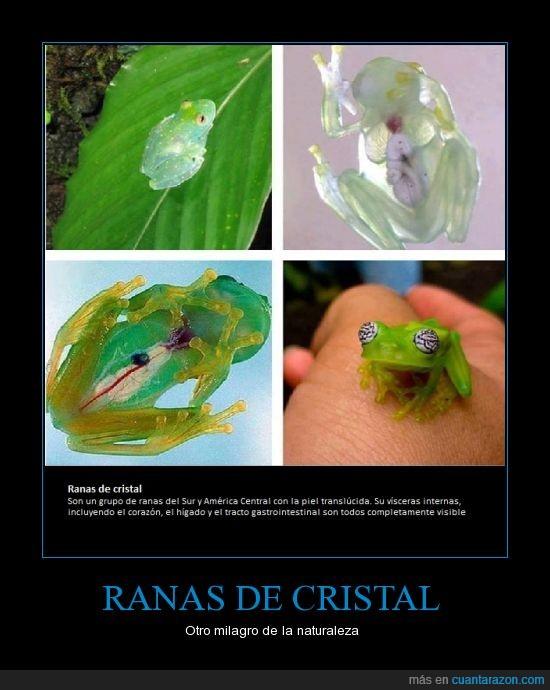 naturaleza,ranas de cristal,translucida,verde,visible