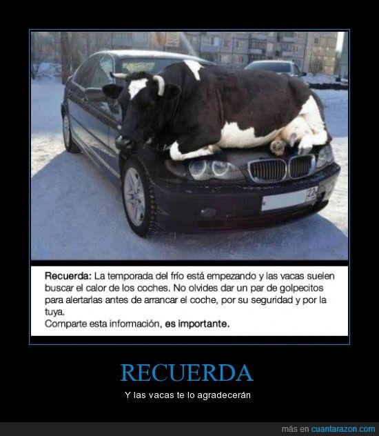 asustar,coche,frío,invierno,vacas,winter is coming