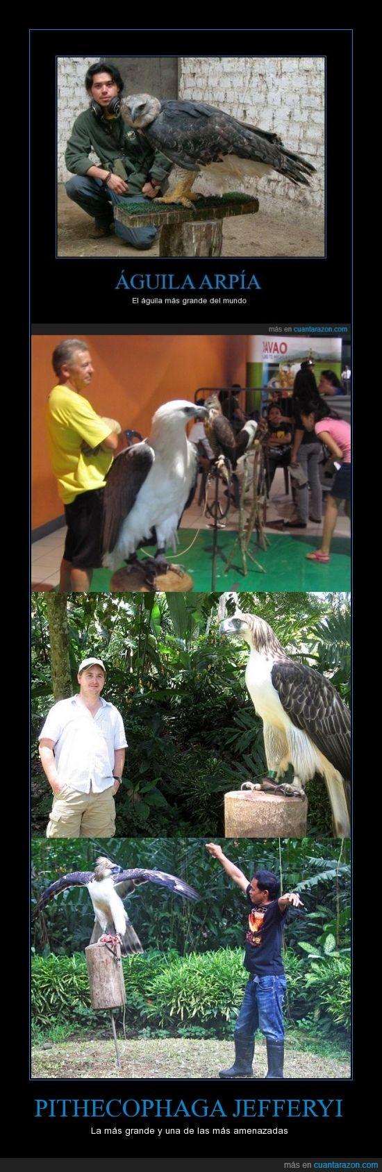 aguila filipina,amenazada,animal,ave,gigante,grande,pithecophaga