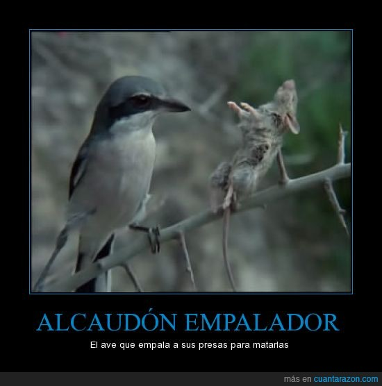 alcaudón,ave,como vlad el empalador,empalador,ratoncillo