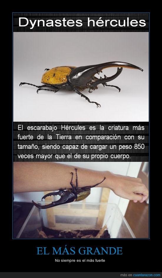 Escarabajo,grande,Hércules,Más fuerte,Naturaleza,pequeño.