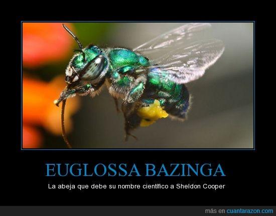 abeja,bazinga,Brasil,en toda la boca!,escurridiza,Euglossa bazinga,Sheldon Cooper,TBBT,The Big Bang Theory,¡Zas