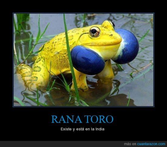 amarillo,azul,color,existe,india,peligrosa,rana,rara,toro