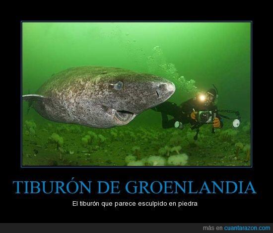 come osos polares,piedra,Somniosus microcefalia,Tiburón de Groenlandia
