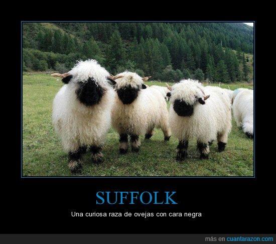 Cara,Curiosa,lana,Negra,Ovejas,peluda,Suffolk