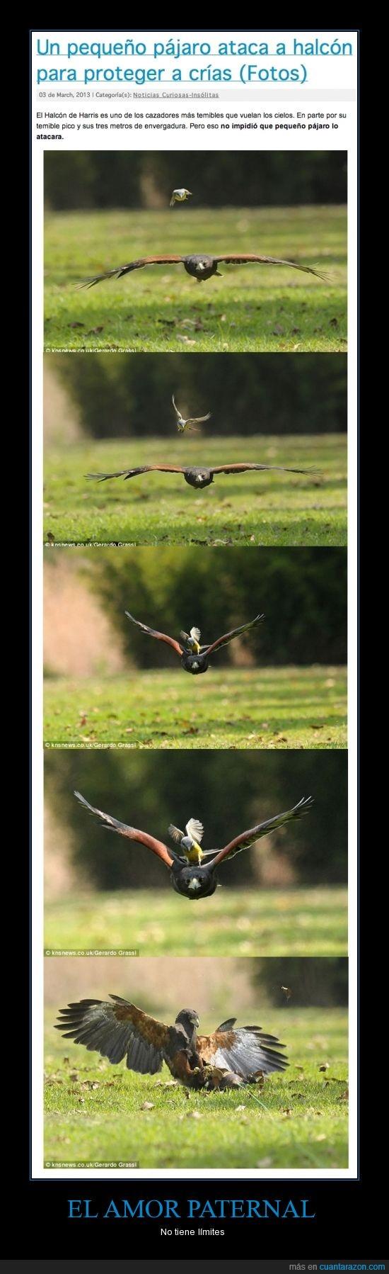 amor,atacar,crías,grande,halcón,hijo,padres,Pequeño,salvar