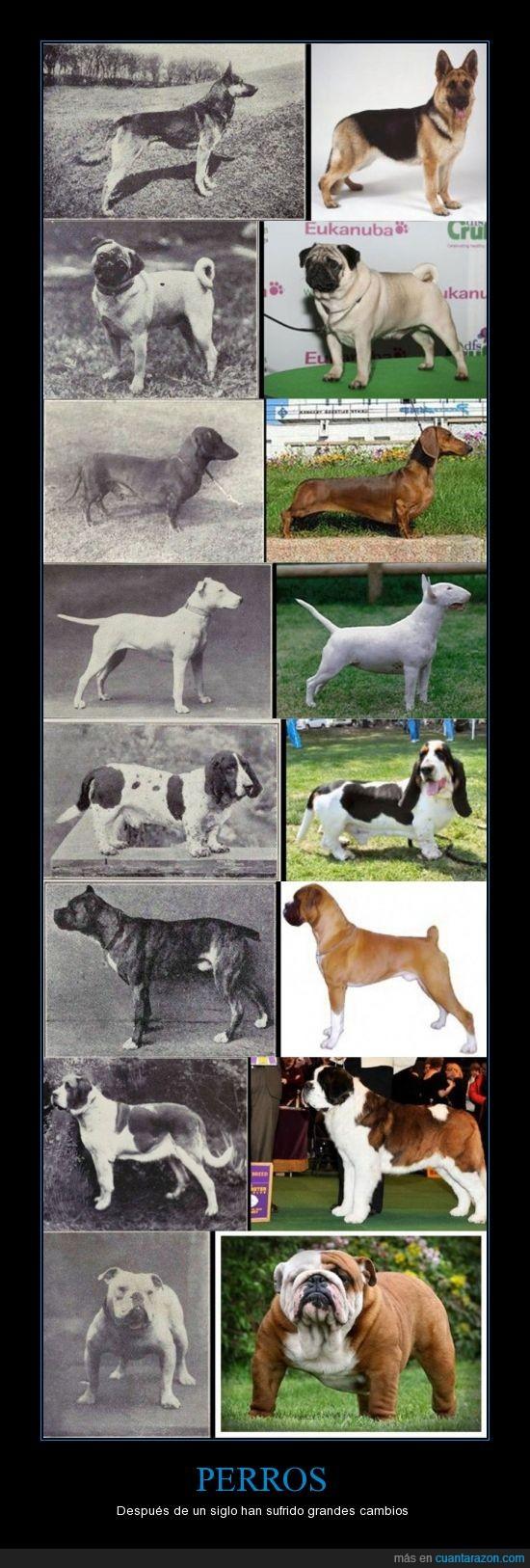 boxer,bulldog,deterioro,pastor aleman,perros,razas,san bernardo,siglo